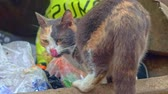 bichano : Tri-color Stray cat feeding in trash dumpster