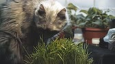 vitální : Gray cat is eating fresh grass. The cat is eating grass on the windowsill in the blinking light