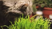 temas animais : Cat sniffing and munching fresh catnip grass