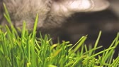 temas animais : gray Cat eating cat grass. grey cat eating catnip grass very close-up shot