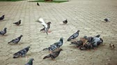 Flock of pigeons feeding in park and fight for food slow motion Stok Video