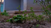 fresh spring weed just out of earth ground level shoot Stok Video
