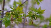 もやし : fresh green spring April leaves, just from buds close-up