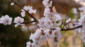 Closeup of blooming cherry tree branch with bunch of small white flowers with pink center