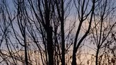 arbol roble : Dark tree silhouettes in front of the sunset sky Archivo de Video