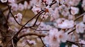 Cherry in bloom closeup of many small flowers of cherry-tree in warm April