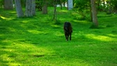 Black dog walking on green park grass slow motion footage