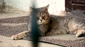 気高さ : Adult tomcat resting on carpet in front of the apartment door slow motion pan shot