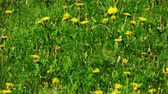 floreios : Young yellow dandellion field in slow mition pan shot