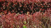 Couple of sparrows hiding in red decorative bush in public park