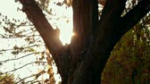 radura : Sun blinking in leaves of tree in the park in sunset warm light