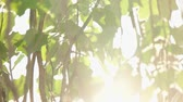 Backlit shot with sun flares of blurry poplar leaves in slow motion