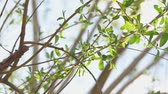 Willow branches in early April with small tender green leaves closeup shot slow motion Wideo