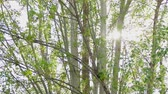 Birch trees in sunny day in public park