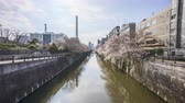 Time lapse of bright day light at Meguro River, Tokyo during full bloom cherry blossom. Zoom out