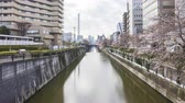 teljes virágzás : Time lapse of bright day light at Meguro River, Tokyo during full bloom cherry blossom. Tilt up Stock mozgókép