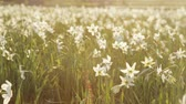 jonquil : Divine nature, saving protected fragile daffodils. Blossoming of white narcissus flower on a bright sunshine. Spring atmosphere. Spring landscape. No people around. Outside shooting.