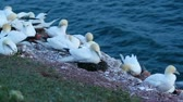 A colony of gannets on Helgoland Stock Footage