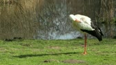 A stork in its natural habitat (Holland)
