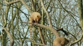 An eating coatimundi in a tree (Holland) Stock Footage