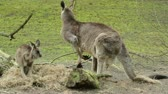 Two kangaroos (adult and young one)