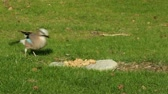 A Jay bird (Garrulus glandarius) is eating a peanut Stock Footage