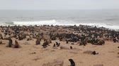 Cape fur seal (Arctocephalus pusillus), Cape Cross. Namibia Stock Footage