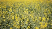 stupro : Camera slide next to yellow canola growing in the field Filmati Stock