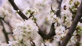 toplamak : White tree blossoms and working bee
