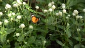 Wild Insect Butterfly sitting on the Flora to eatting Honeydew in the Garden Stok Video