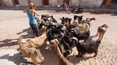 savec : Lady feeding the herd of goats