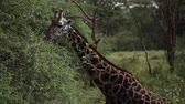 lichaam : Giraffe grazen in de savanne