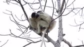 Африка : Two sifaka lemurs playing on the tree