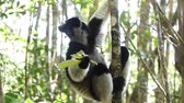 olhos : Indri lemur eats green leaves being on the tree in the forest