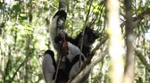 джунгли : Indri lemur relaxing on the tree in the forest