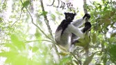 afrika : Indri lemur relaxing on the tree in the forest