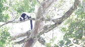animais selvagens : Black and white ruffed lemur Varecia variegata screaming on the tree. Madagascar