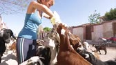 savec : Young lady feeding the herd of goats