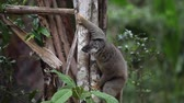 Африка : Brown lemur climbing the tree in the forest