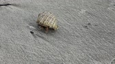 um : Hermit crab walking on a sand Vídeos