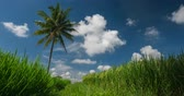 cultivado : Rice field and palm tree with the clouds on the sky Vídeos