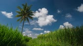 arbusto : Rice field and palm tree with the clouds on the sky Stock Footage