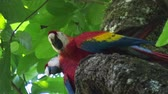 czerwony : Two scarlet macaw (Ara macao) on the tree with a green leaves on the background Wideo