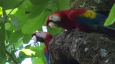 wing : Two scarlet macaw (Ara macao) on the tree with a green leaves on the background Stock Footage