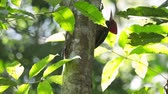 pálido : Pale billed woodpeckers (Campephilus guatemalensis) sit on the tree with natural forest background