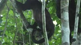 queue : Groupe de singe hurleur mantled (Alouatta palliata) se détendre sur l'arbre