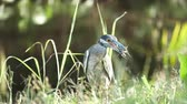 penas : Yellow crowned night heron (Nyctanassa violacea) eats crab in the wild, with green grass background