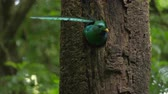 cauda : Resplendent quetzal (Pharomachrus mocinno) male flies from nest