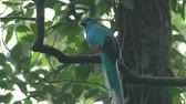 cauda : Resplendent quetzal (Pharomachrus mocinno) male flies in the rainforest