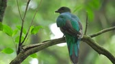 species : Female of Resplendent quetzal (Pharomachrus mocinno) in the humid forest of Monteverde National Park. Costa Rica.